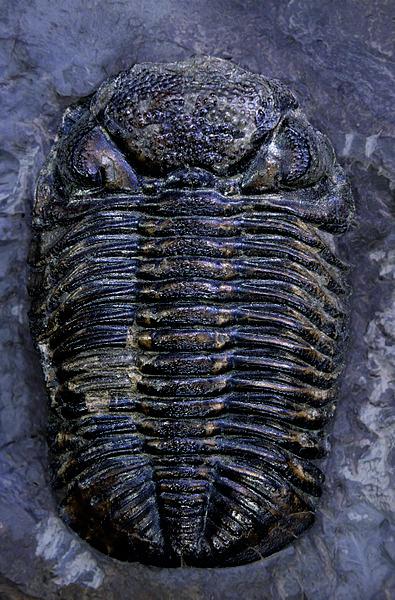 Phacops rana (Trilobit)